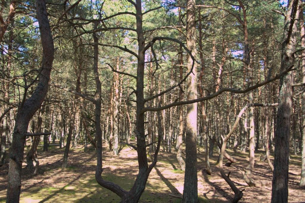 Пьяный лес Курской косы