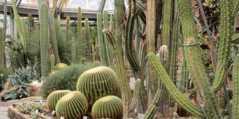 kaktusi-v-oranzheree-berlina