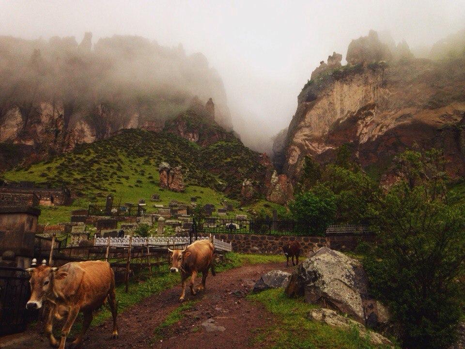armenia-goris-korovi