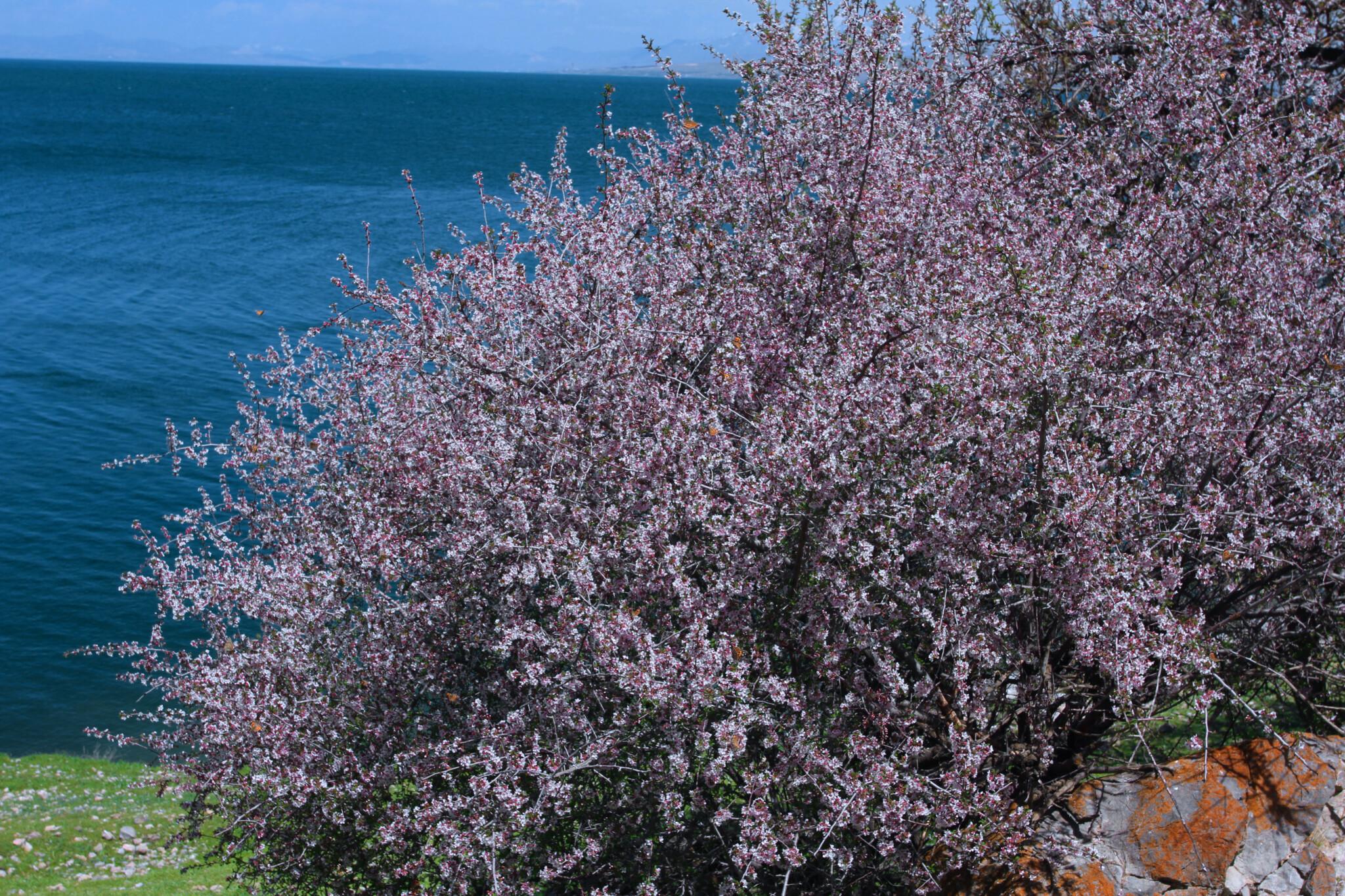 turcia-sakura