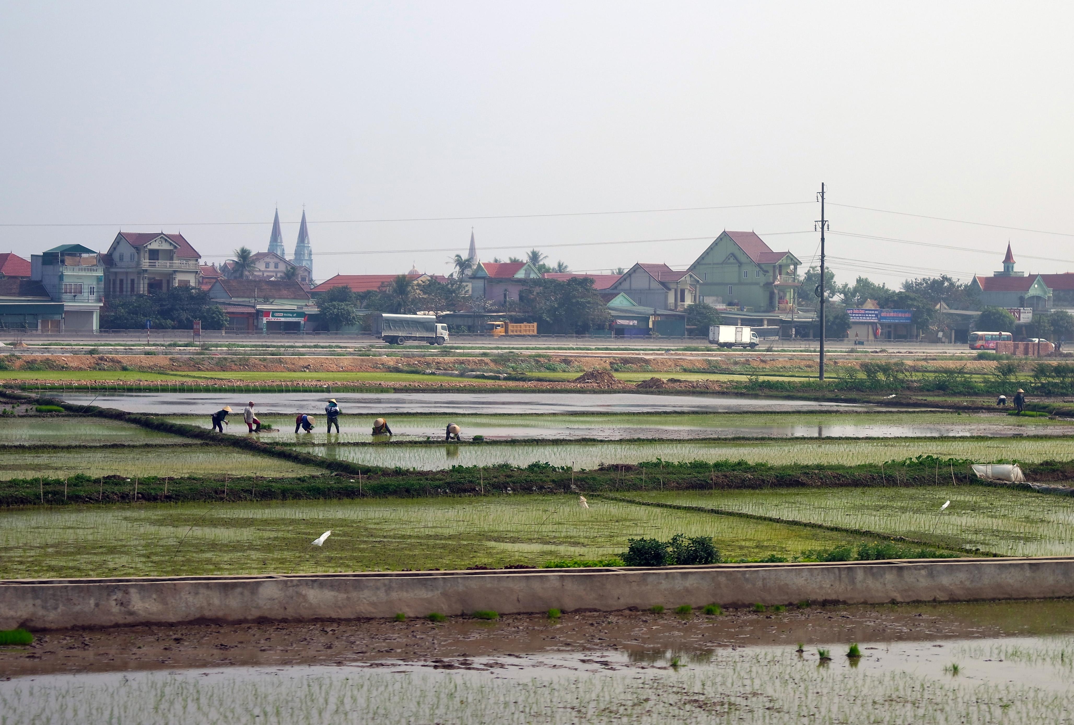 vietnam-risovie-pola