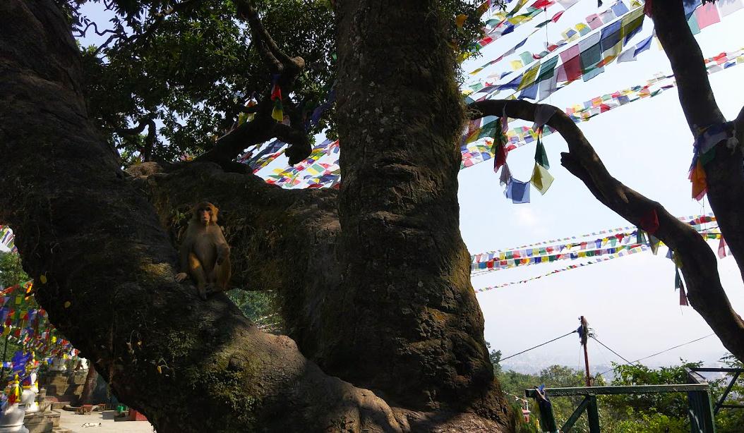 obezyani-nepal