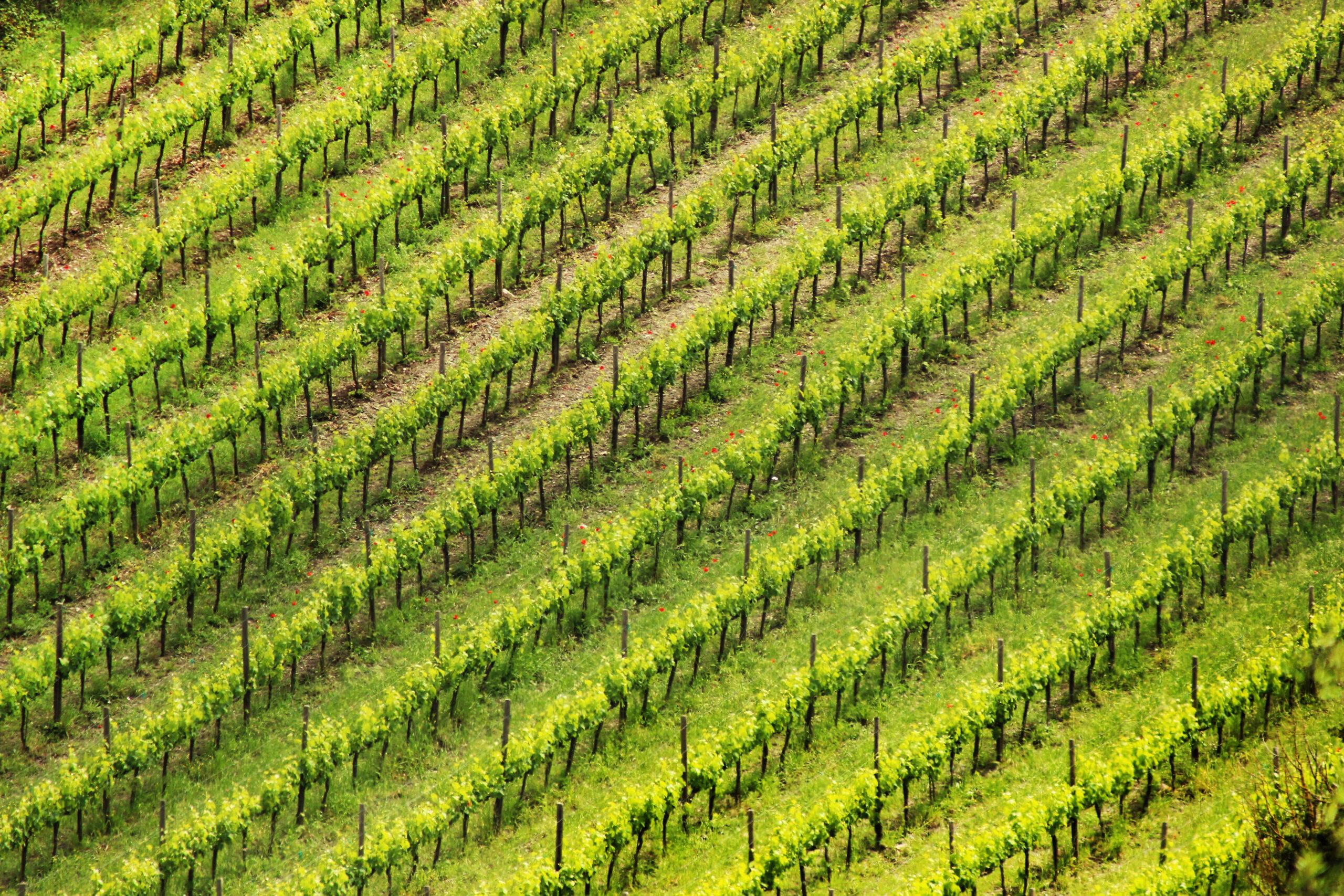 toskana-vinograd